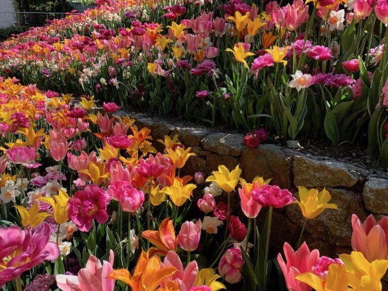 Tulipani rosa, gialli e arancioni